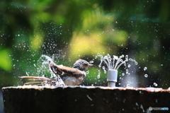 ヒヨの水浴び 1
