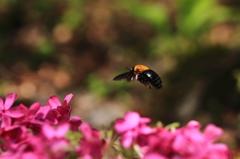 小さな生き物シリーズ-クマバチ 1