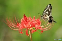 彼岸花が似合う蝶