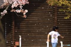 散る桜 2