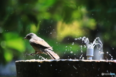 ヒヨの水浴び 2