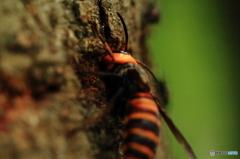 樹液を吸うスズメバチ 2