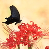 彼岸花とクロアゲハ2