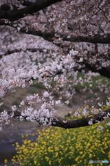 五条川の桜と菜の花