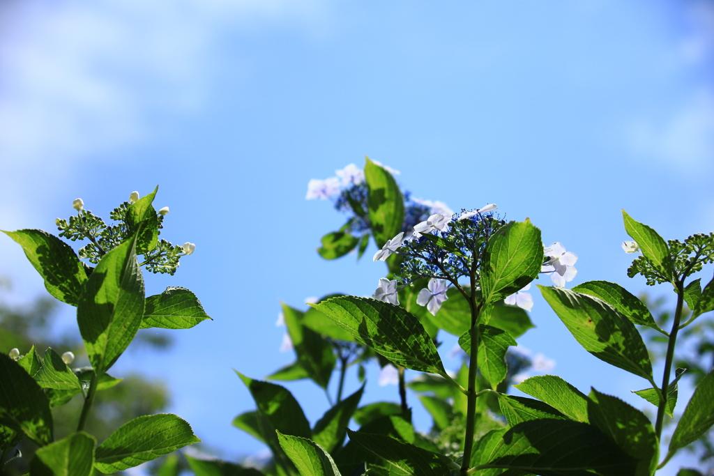 植物園の紫陽花