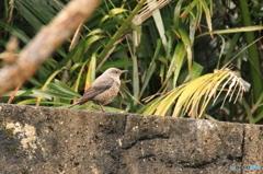 沖縄の鳥-イソヒヨドリ7