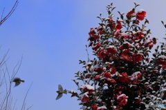 雪の山茶花と飛び出すメジロ