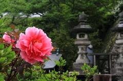 長谷寺-ボタン