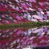 國田家の芝桜 - 2