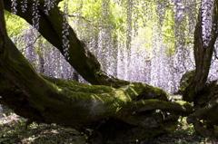 樹齢600年