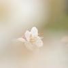 霞たなびき、咲く花