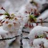 雪化粧した桜01