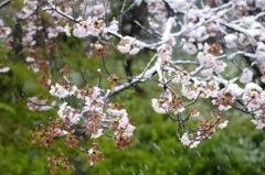 雪化粧した桜07