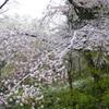 雪化粧した桜03