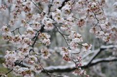 雪化粧した桜08