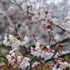 雪化粧した桜06