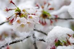 雪化粧した桜02