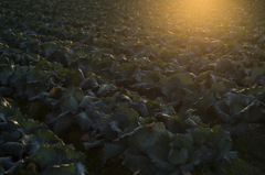 cabbage&sunlight