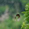 雨降る中、高枝から飛び去りなカワセミくん♂   大阪/阿倍野