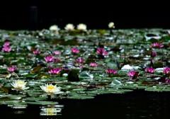 池に浮かぶ宝石