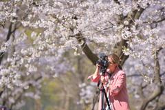 トロントの桜