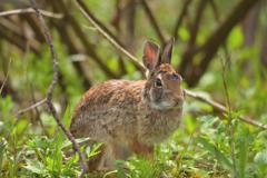 森に住む動物 野ウサギ