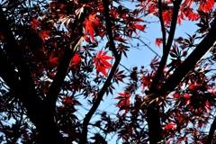 晩秋のモミジ
