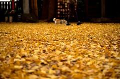 黄金色の散歩道