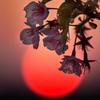 Cherry Blossoms & Sun set
