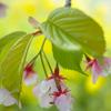 Nature「河津桜」