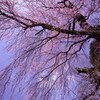 古木しだれ桜
