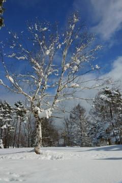 雪と白樺が撮りたくて