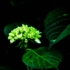 AJISAI紫陽花