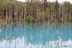 美瑛町 青い池8
