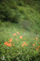 高原の花6