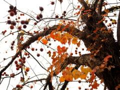 老木も秋の装い