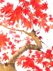 紅い葉、咲いた。