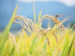 穂の香な季節