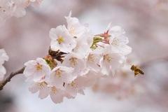 春のHANA・BEE