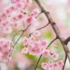 はるゆめ桜
