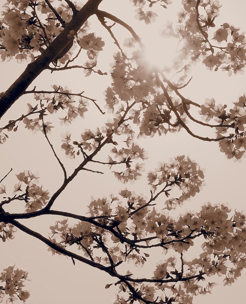 sepia blossom