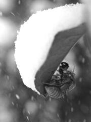 雪蝉ーYUKISEMIー
