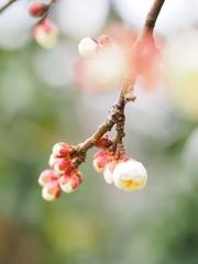 梅の花、咲くころ