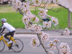 桜日和はサイクル日和