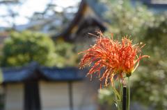 燃える菊花