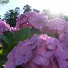 八幡宮の紫陽花 #8