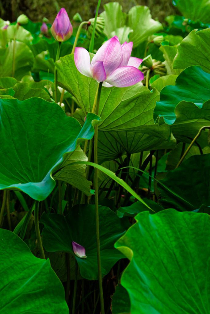 lotus #14