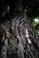 樹齢400年の風格