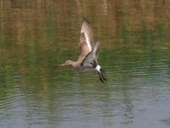 オグロシギの飛翔