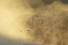 川霧から飛び立つタンチョウ